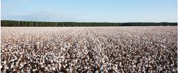 阿克苏新和县玉奇喀特乡苏拉依瑪棉花试验示范效果