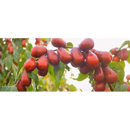 阿克苏市11团红枣实验示范效果